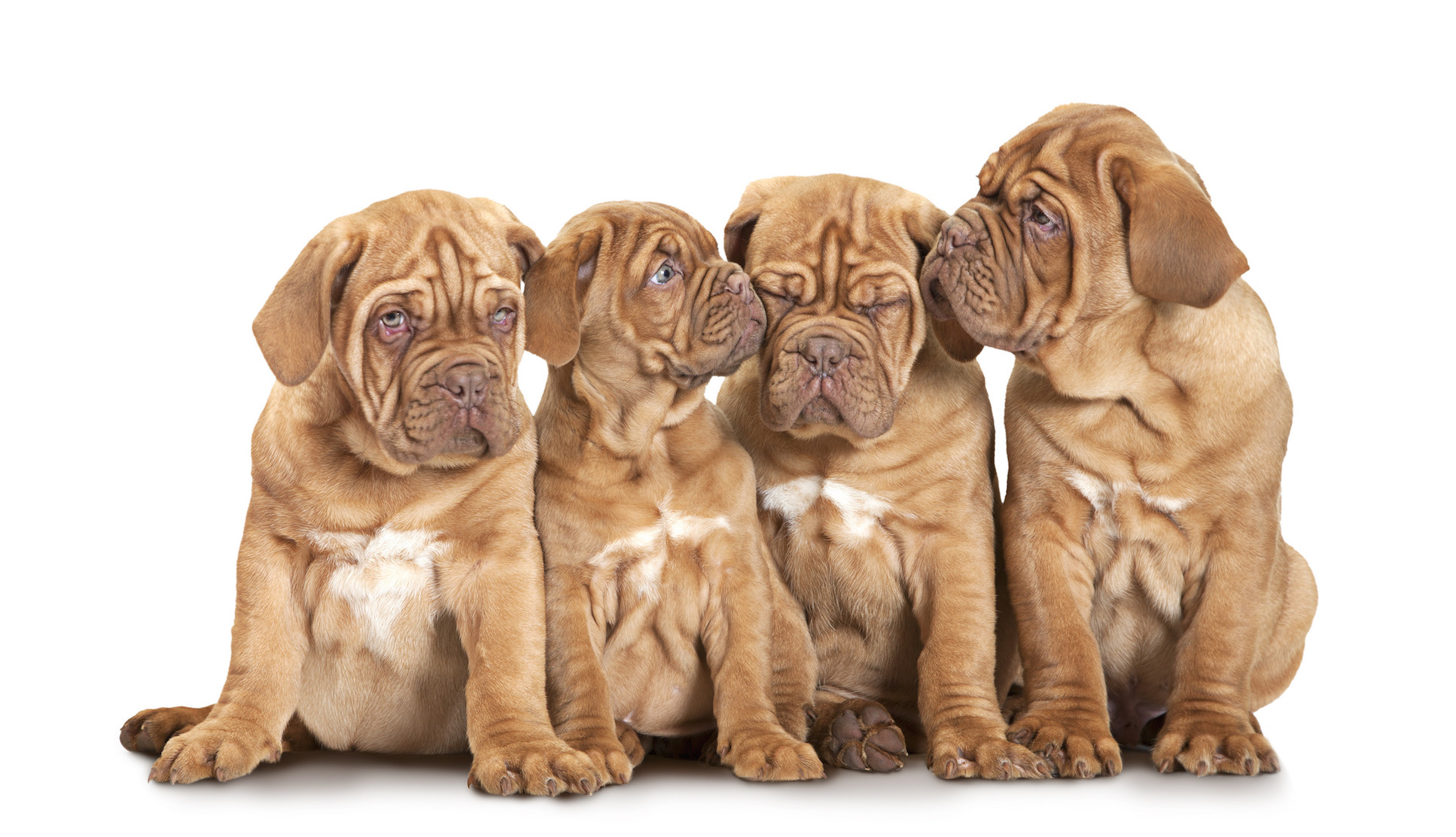Nine month old French Mastiff breed puppies isolated on white background
